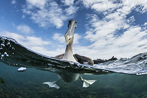 Brown Pelican (Pelecanus occidentalis) on water, Urbina Bay, Isabela Island, Galapagos Islands, Ecuador - Pete Oxford