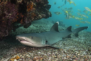 White-tip Reef Shark (Triaenodon obesus), Rabida Island, Galapagos Islands, Ecuador  -  Pete Oxford