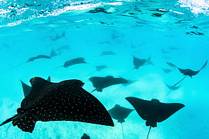 Spotted Eagle Ray (Aetobatus narinari) group, Santa Fe Island, Galapagos Islands, Ecuador - Pete Oxford