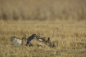 Greater Prairie Chicken (Tympanuchus cupido) males fighting at lek, Bluestem Prairie Scientific and Natural Area, Barnesville, Minnesota  -  Benjamin Olson