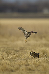 Greater Prairie Chicken (Tympanuchus cupido) males fighting at lek, Barnesville, Minnesota  -  Benjamin Olson