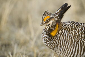 Greater Prairie Chicken (Tympanuchus cupido) male displaying, Barnesville, Minnesota  -  Benjamin Olson