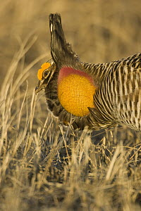 Greater Prairie Chicken (Tympanuchus cupido) male displaying at lek, Barnesville, Minnesota  -  Benjamin Olson