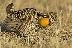 Greater Prairie Chicken (Tympanuchus cupido) male displaying at lek, Bluestem Prairie Scientific and Natural Area, Barnesville, Minnesota  -  Benjamin Olson