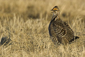 Greater Prairie Chicken (Tympanuchus cupido) male calling at lekk, Barnesville, Minnesota  -  Benjamin Olson