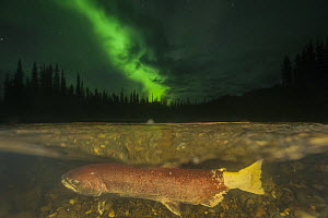 Chinook Salmon (Oncorhynchus tshawytscha) female spawning under northern lights in small tributary of Yukon River, Yukon, Canada  -  Peter Mather