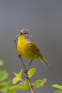 Nashville Warbler (Oreothlypis ruficapilla) male calling in spring, Troy, Montana  -  Donald M. Jones
