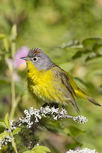 Nashville Warbler (Oreothlypis ruficapilla) male in spring, Troy, Montana  -  Donald M. Jones