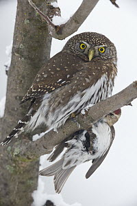 Mountain Pygmy-Owl (Glaucidium gnoma) with Common Redpoll (Carduelis flammea) prey, Troy, Montana  -  Donald M. Jones