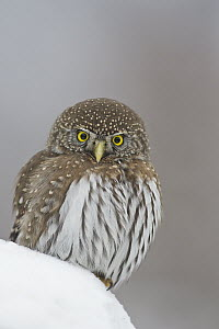 Mountain Pygmy-Owl (Glaucidium gnoma), Troy, Montana  -  Donald M. Jones