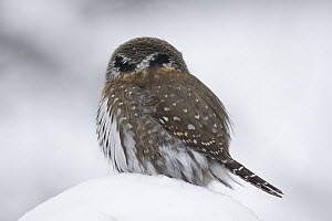 Mountain Pygmy-Owl (Glaucidium gnoma) showing its back of head eyespots, Troy, Montana, Sequence 1 of 2  -  Donald M. Jones