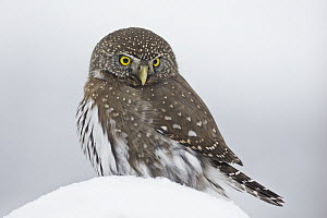 Mountain Pygmy-Owl (Glaucidium gnoma), Troy, Montana, Sequence 2 of 2  -  Donald M. Jones