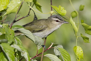 Red-eyed Vireo (Vireo olivaceus) male, Libby, Montana  -  Donald M. Jones
