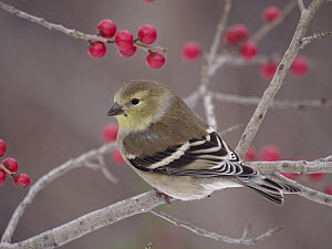 American Goldfinch (Carduelis tristis) in Virginia Winterberry (Ilex verticillata) bush, North America - Scott Leslie