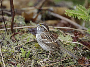White-throated Sparrow (Zonotrichia albicollis) male calling in spring, Nova Scotia, Canada - Scott Leslie