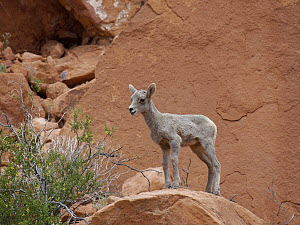 Desert Bighorn Sheep (Ovis canadensis nelsoni) lamb, Valley of Fire State Park, Nevada - Scott Leslie