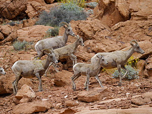 Desert Bighorn Sheep (Ovis canadensis nelsoni) mothers and lambs, Valley of Fire State Park, Nevada - Scott Leslie