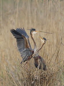 Purple Heron (Ardea purpurea) pair courting and building nest in reeds, Germany  -  Ingo Arndt