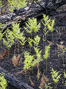 Ferns emerging from charred forest floor after recent fire, Nova Scotia, Canada - Scott Leslie