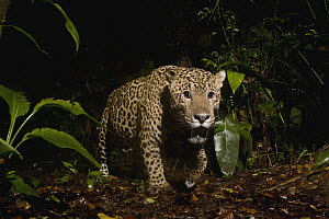 Jaguar (Panthera onca) male in rainforest at night, Coastal Jaguar Conservation Project, Tortuguero National Park, Costa Rica - Sebastian Kennerknecht