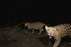 Jaguar (Panthera onca) yearling male cubs on beach at night, Coastal Jaguar Conservation Project, Tortuguero National Park, Costa Rica - Sebastian Kennerknecht