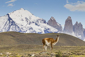Guanaco (Lama guanicoe) in pre-andean shrubland, Torres del Paine, Torres del Paine National Park, Patagonia, Chile  -  Sebastian Kennerknecht