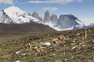 Guanaco (Lama guanicoe) herd in pre-andean shrubland, Torres del Paine, Torres del Paine National Park, Patagonia, Chile  -  Sebastian Kennerknecht