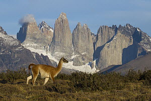 Guanaco (Lama guanicoe) in front of mountains, Torres del Paine, Torres del Paine National Park, Patagonia, Chile  -  Sebastian Kennerknecht