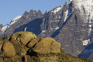 Mountain Lion (Puma concolor) female in front of mountains, Torres del Paine National Park, Patagonia, Chile  -  Sebastian Kennerknecht