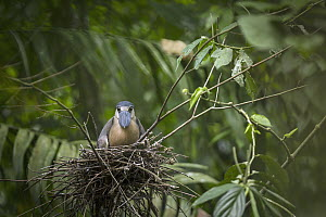 Boat-billed Heron (Cochlearius cochlearius) on nest, Costa Rica  -  Greg Basco/ BIA