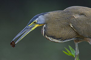 Bare-throated Tiger Heron (Tigrisoma mexicanum) dropping seed in water to lure fish, Limon, Costa Rica  -  Greg Basco/ BIA
