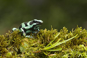 Green And Black Poison Dart Frog (Dendrobates auratus), Costa Rica - Greg Basco/ BIA
