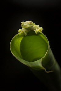 Emerald Glass Frog (Centrolene prosoblepon) on Heliconia (Heliconia sp), Costa Rica  -  Greg Basco/ BIA