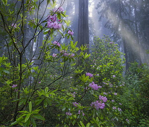 Rhododendron (Rhododendron sp) flowers and Coast Redwood (Sequoia sempervirens) trees in fog, Redwood National Park, California  -  Tim Fitzharris