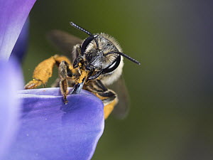 Sweat Bee (Halictus sp) feeding on Lupine (Lupinus sp) flower nectar, Maine - Scott Leslie