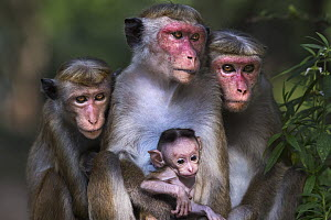 Toque Macaque (Macaca sinica) females and young, Polonnaruwa, Sri Lanka - Fiona Rogers