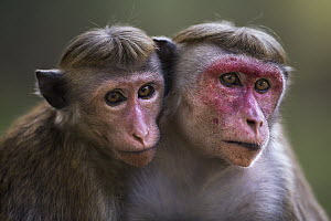 Toque Macaque (Macaca sinica) mother and juvenile daughter, Polonnaruwa, Sri Lanka - Fiona Rogers