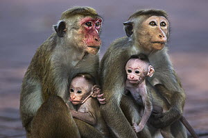 Toque Macaque (Macaca sinica) mothers and newborns, Polonnaruwa, Sri Lanka - Fiona Rogers