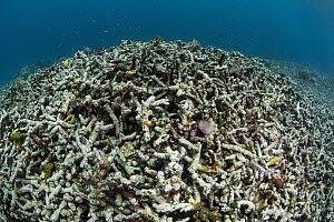Coral reef damage caused by dynamite fishing, Lesser Sunda Islands, Indonesia  -  Pete Oxford