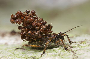 Assassin Bug (Acanthaspis sp) being attacked by ants, Gunung Leuser National Park, Sumatra, Indonesia - Paul Bertner