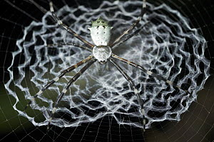 Garden Orb Weaver (Argiope sp) in web, Udzungwa Mountains National Park, Tanzania - Paul Bertner