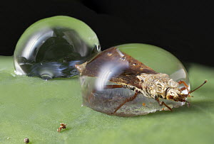Flat Bug (Aradidae) trapped in water droplet, Mananara Nord National Park, Madagascar - Paul Bertner