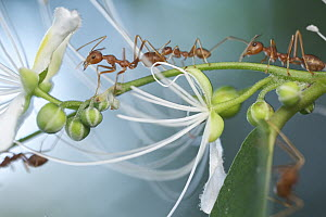Green Tree Ant (Oecophylla smaragdina) group on flowering plant, Angkor Wat, Cambodia - Paul Bertner