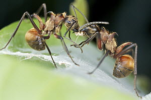 Spiny Ant (Polyrhachis sp) pair exchanging food, Danum Valley Conservation Area, Sabah, Borneo, Malaysia  -  Paul Bertner