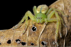 Giant Crab Spider (Sparassidae), Hitoy Cerere Biological Reserve, Costa Rica  -  Paul Bertner