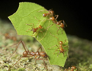 Leafcutter Ant (Atta sp) group harvesting leaf, Yasuni National Park, Ecuador - Paul Bertner