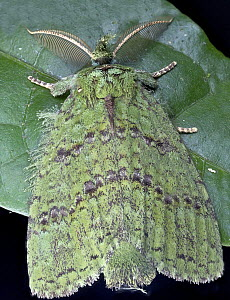 Moth (Erebidae), Andasibe-Mantadia National Park, Antananarivo, Madagascar  -  Paul Bertner