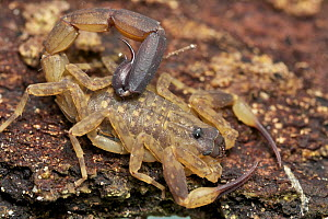 Thick-tailed Scorpion (Tityus sp), Cat Tien National Park, Vietnam  -  Paul Bertner