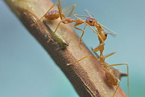 Green Tree Ant (Oecophylla smaragdina) pair exchanging food harvested from treehopper, Angkor Wat, Cambodia  -  Paul Bertner