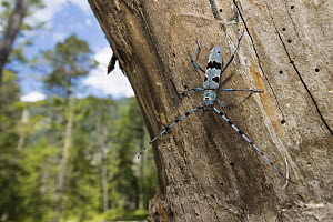 Rosalia Longicorn (Rosalia alpina) beetle in forest, Alps, Upper Bavaria, Germany - Konrad Wothe